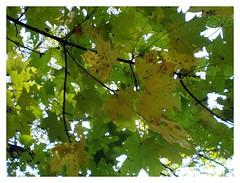 maidenhair tree(0.0), birch(0.0), deciduous(1.0), branch(1.0), leaf(1.0), tree(1.0), plant(1.0),
