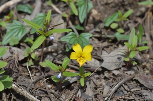 Upland Yellow Violet - Viola praemorsa