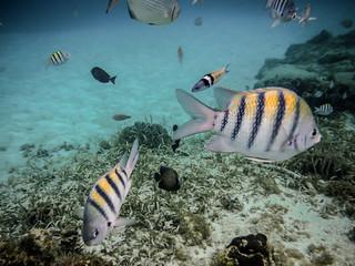 F4730E7 - Roatan Fish Looking For Breakfast