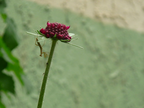 on the farm :: baby mantis