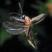 firefly 4172 by art farmer
