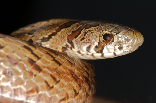 Taiwan Kukri Snake- 台灣小頭蛇 - Oligodon formosanus- Colubridae 6.jpg