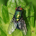 Metallic green fly