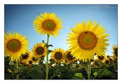 Buzzing Sunflowers