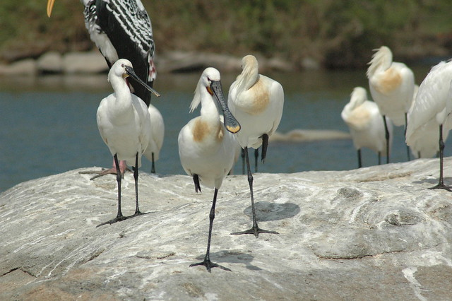 2006 Ranganathittu Bird Sanctuary India eurasian spoonbill