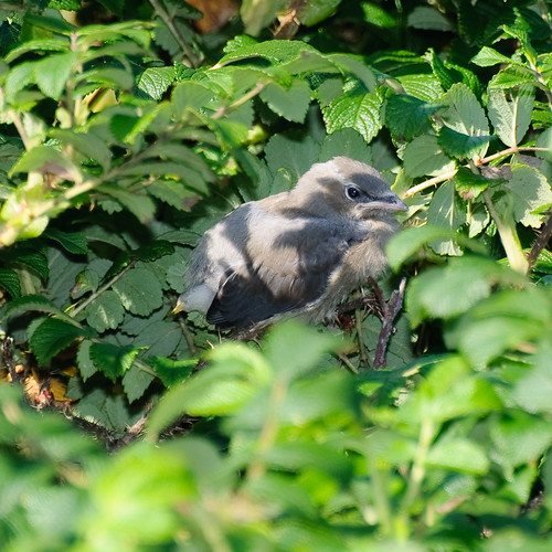 Waxwing chick in the sun