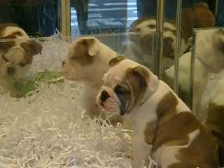 puppies in a lexington avenue pet shop window flickr   photo sharing