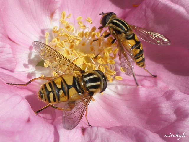 Two Hoverflies