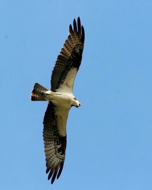 Osprey Overhead 20091028