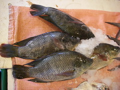 養殖的吳郭魚。(攝影:張泰迪)