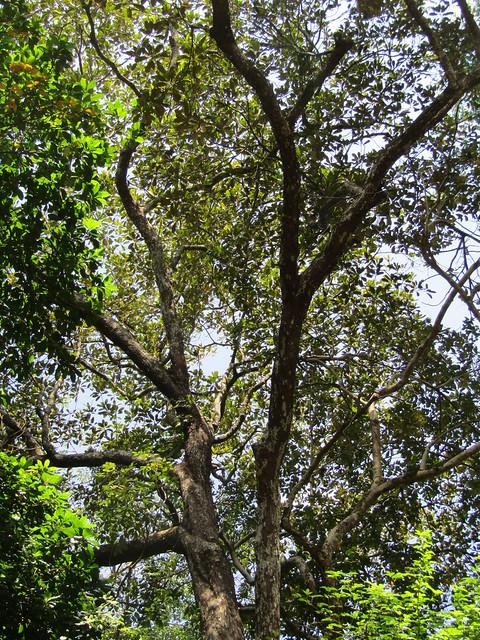 Palaquium gutta (Gutta Percha Tree)