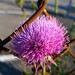 thistle by cwage