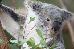 animal, branch, nature, mammal, koala, fauna, close-up, wildlife,