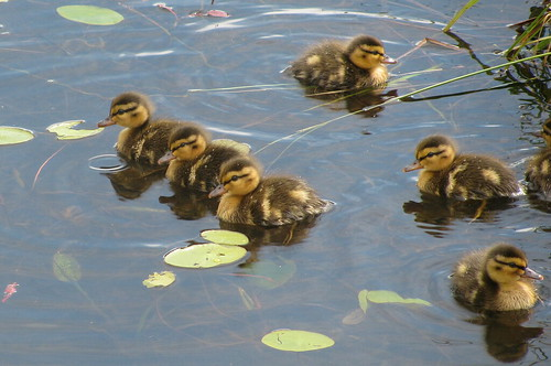 Ducklings by Billy Wilson Photography