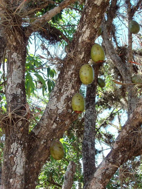j u00edcaro gourd tree