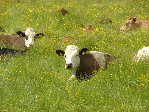 animals cattle buttercrambe