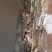 Small photo of Orthoptera