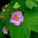 Purple-flowering Raspberry - Photo (c) Juha Haataja, some rights reserved (CC BY-NC-SA)