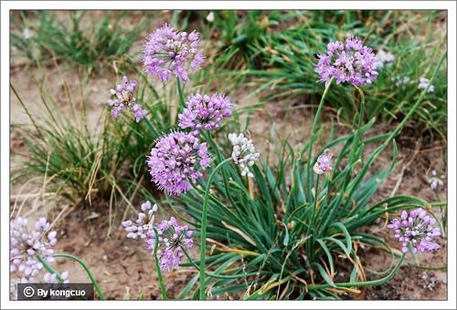 内蒙古植物照片-百合科葱属蒙古韭