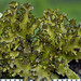 Wrinkle Lichens - Photo (c) wanderflechten, some rights reserved (CC BY-NC-ND)