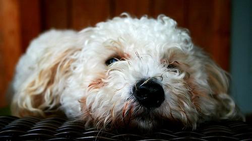 dog geotagged poodle resting naptime toypoodle bigdog geo:lat=36608474 geo:lon=83732182