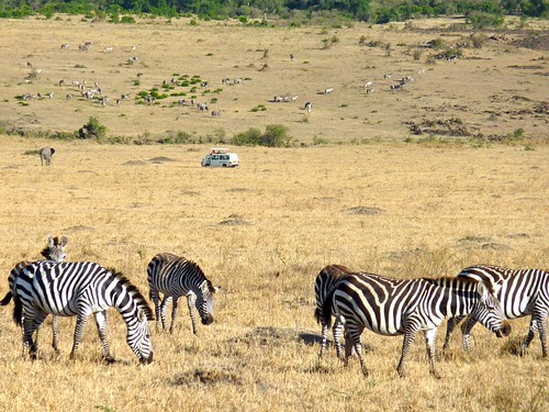 Zebras and safari van, Maasai Mara, Kenya