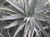 SucculentDSC00478