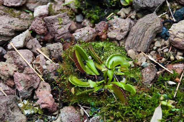 Attrape mouches plante carnivore flickr photo sharing for Plante carnivore mouche interieur