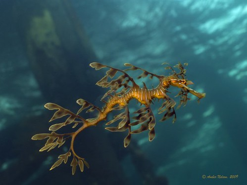 Leafy seadragon at Wool Bay, South Australia