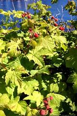 ripe thimbleberries growing beside lake oswego    MG…