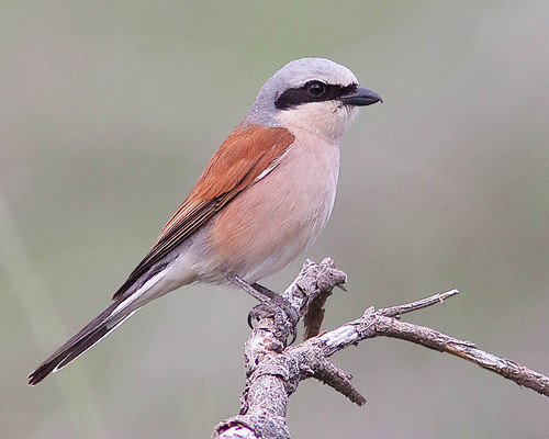 Picanço-de-dorso-ruivo / Red-backed shrike