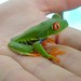 Small photo of Agalychnis callidryas (Red-eyed Tree Frog)
