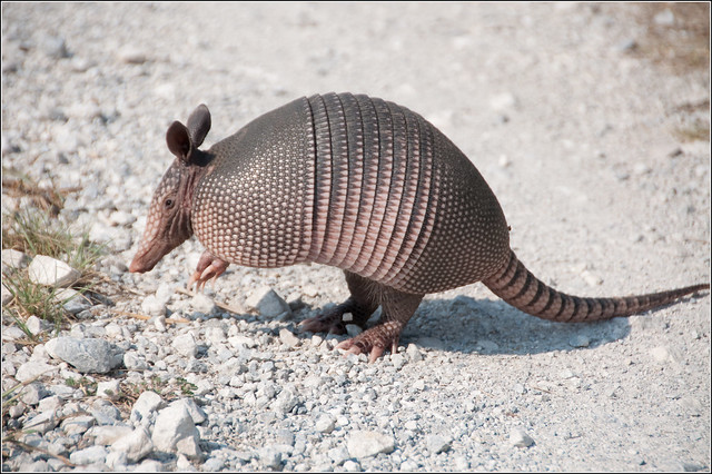An Armadillo's Reign of Destruction