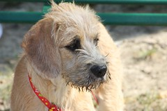 dog breed, animal, dog, schnoodle, pet, border terrier, carnivoran, terrier,