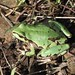 Arizona Treefrog - Photo (c) Lon&Queta, some rights reserved (CC BY-NC-SA)