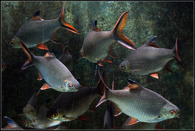 Red-tailed Tinfoil Barb (Barbonymus altus) Flickr - Photo Sharing!