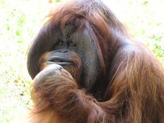 nose, animal, orangutan, mammal, great ape, fauna, ape, wildlife,