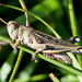 Small photo of Eyprepocnemis plorans . Acrididae