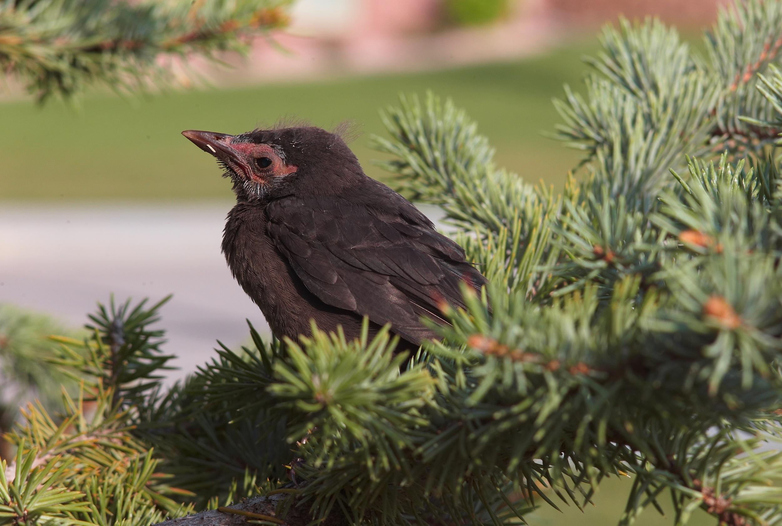 fledgling grackle - photo #38