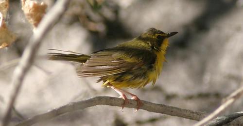 Kentucky Warbler  6/2/09