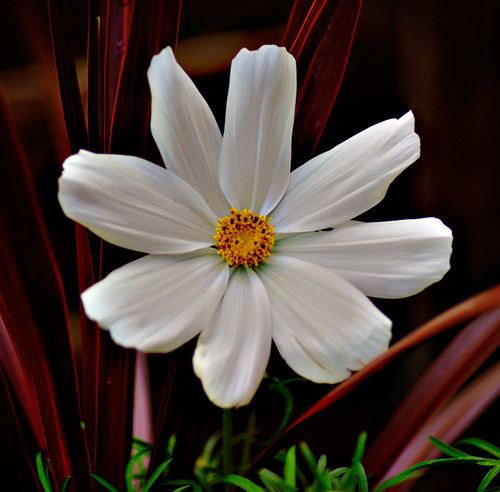White Flower-Cosmos