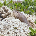Pocket Gophers - Photo (c) Terry Ross, some rights reserved (CC BY-SA)