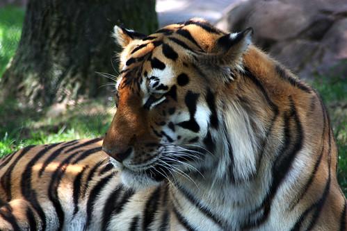 park new cat zoo big tiger may santos jersey cape siberian lucio