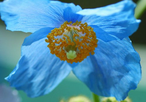 ヒマラヤの青いケシ/Meconopsis grandis