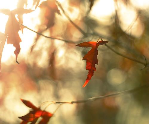 autumn red fall nature leaves canon bokeh ottawa foliage acr pse lightroom overlays 50mmf18ii blessedarethecheesemakers freepresets 5dmarkii dheml raceytay ibrakeforbokeh artistpicks sousmarinpreset parkinglotlurve addtogetty
