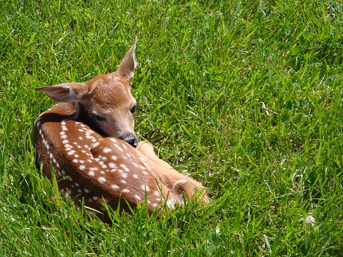 Fawn near the Office