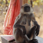 Common langur  enjoying the finer aspects of resort living Semnopithecus entellus