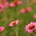 Bokeh Eve Celebrating Flowers by Ginkgo7
