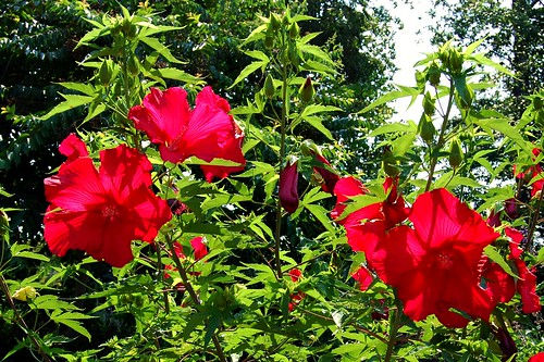 hibiscus atlantabotanicalgarden