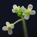 Arabidopsis - Photo (c) Annkatrin Rose, some rights reserved (CC BY-NC-SA)